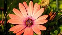Jedním z barevných odstínů těchto půvabných rostlin je i korálová barva květu.