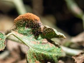 Prvními viditelnými příznaky napadení sviluškami jsou malé žlutavé nebo bělavé skvrny.