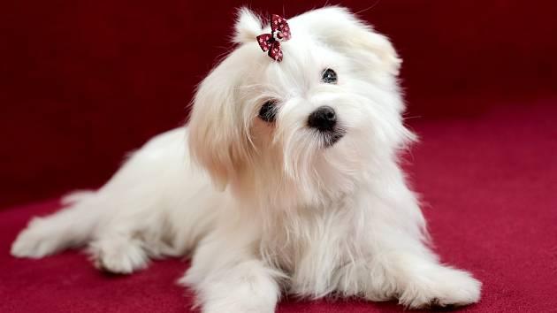 Fenka maltézského psíka