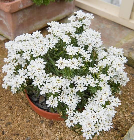 Štěničník (Iberis) můžeme pěstovat i v nádobách.