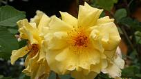 Golden Gate (Kordes, Německo, 2005). Sytě žlutý květ je asi 9 cm velký; výška růže 3,5 m. Opakovaně kvetoucí