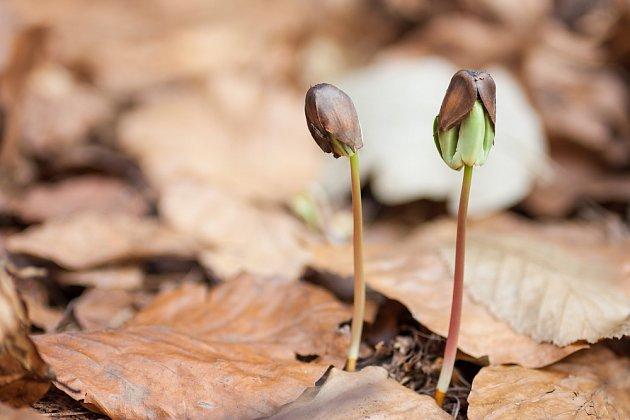 Boučky klíčí, když přijde jejich čas - na jaře