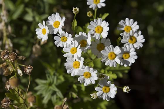 kopretina řimbaba (Chrysanthemum coccineum)