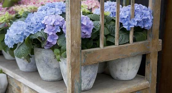 Aby kvetly modře, vyžadují hortenzie kyselý substrát