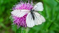 Parcha saflorová přitahuje motýly a poskytuje jim potravu