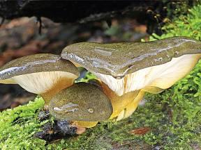 pařezník pozdní (Sarcomyxa serotina)