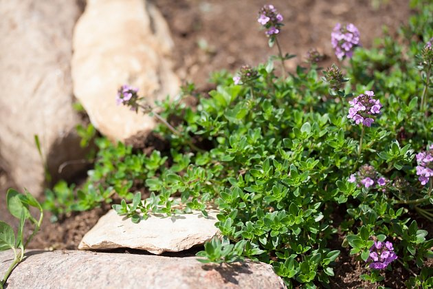 poláhavy tymián, Thymus serpyllum, skvělá půdopokryvná bylinka pro slunná místa