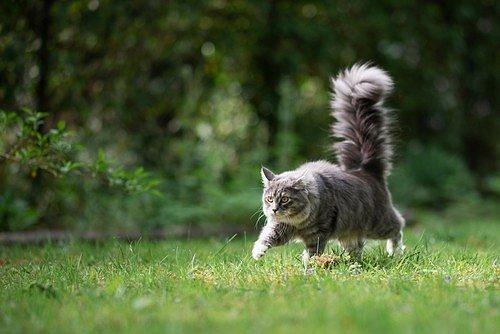 Jestliže je ocas vztyčený nahoru, dává nám tím kočka najevo, že ji něco dost zaujalo.