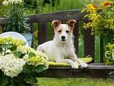 Rostlin nebezpečných pro psy je celá řada.