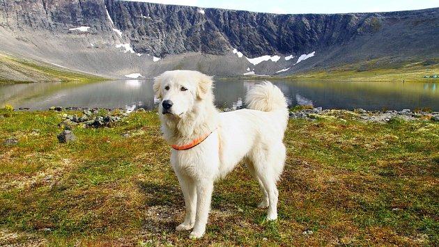 Pyrenejský horský pes již od středověku zodpovědně plnil úlohu hlídače