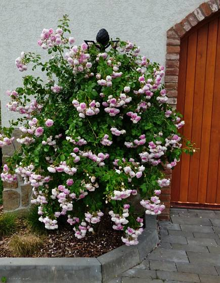 Růže odrůdy Jasmina