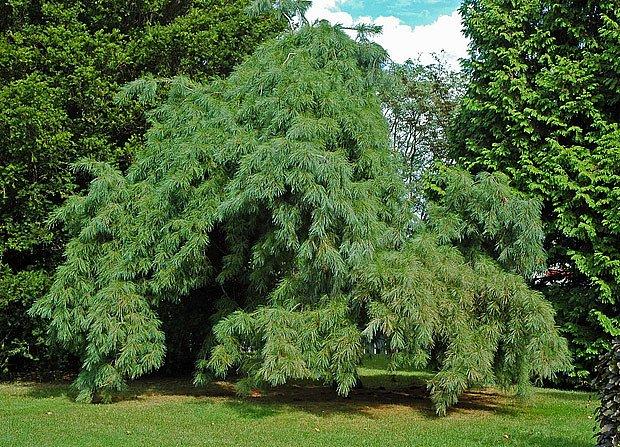Borovice hedvábná–vejmutovka (Pinus strobus)  převislá