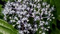 Hydrangea hirta - hortenzie-srstnatá.