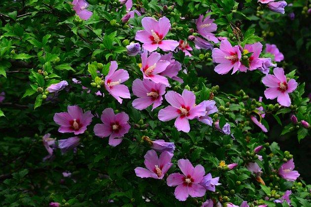 Ibišek sysrký je jeden z nádherně kvetoucích zahradních keřů