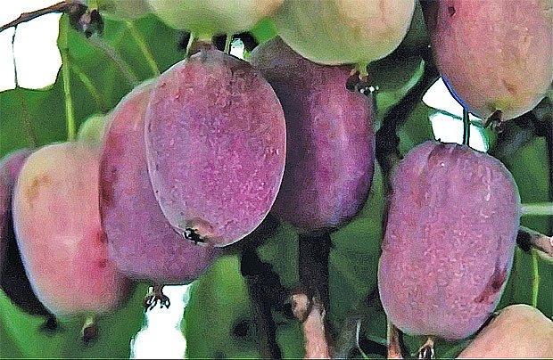 kiwi odrůda Ken´s red