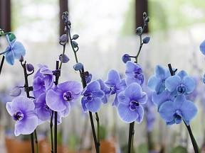 modrá orchidej vice