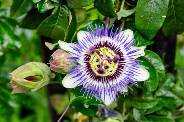 Exotická mučenka zaujme výraznými květy.