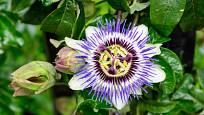 Mučenka pletní (Passiflora incarnata) - Tradičně se využívá celá rostlina, ať čerstvá, nebo sušená.