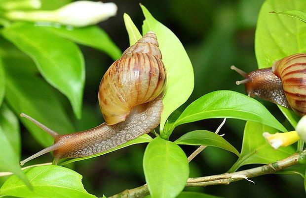oblovka žravá (Achatina fulica)