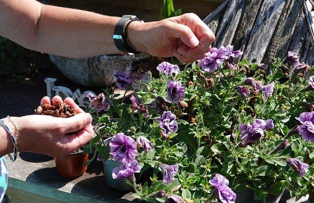 Pravidelné odstraňování odketlých květů je u petúnii i prevencí chorob