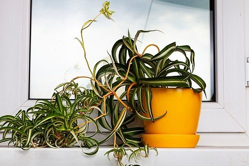 Zelenec (Chlorophytum) patří mezi rostliny, které pročistí vzduch a skvěle pohlcují oxid uhličitý.