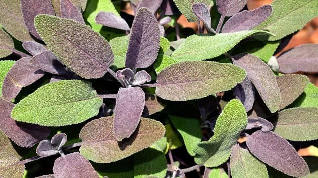 Šalvěj lékařská, varieta s atraktivně zbarvenými listy