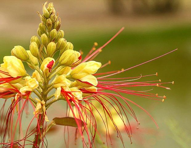 Sapan Gilliesův (Caesalpinia gilliesii)