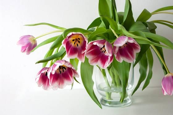 Květy tulipánů se nám budou před očima neustále měnit.