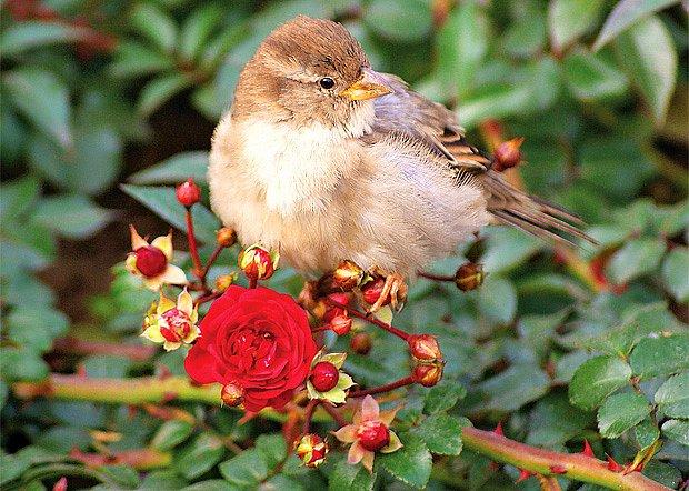 sadové a keřové růže