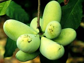 Banán Pawpaw - plody
