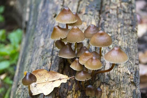 Jedovatá čepičatka jehličnanová (Galerina marginata).