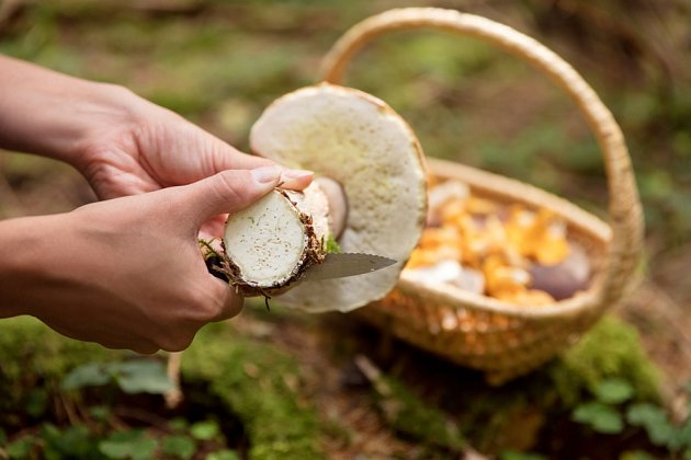 Větší plodnice můžeme rozkrojit, abychom si domů nenosili houby červivé.