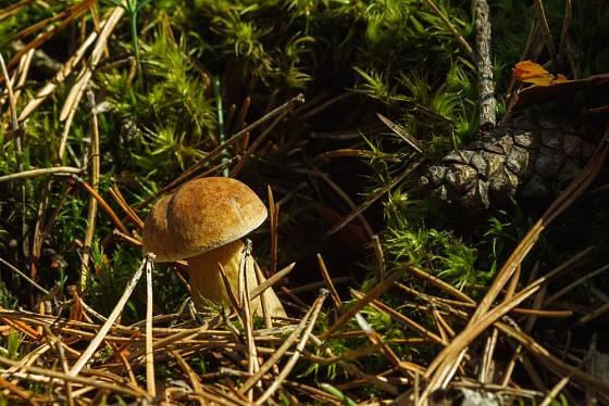 Hřib žlučník roste v jehličnatých i listnatých lesích.