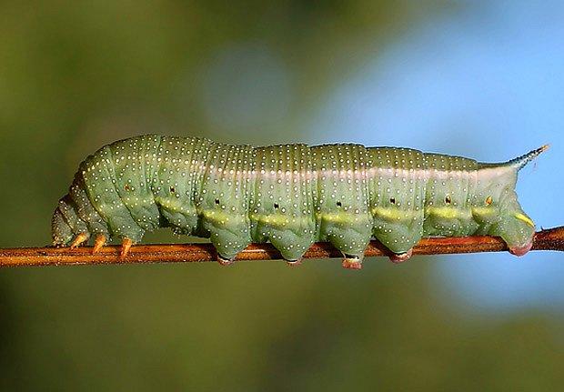 larva dlouhozobky svízelové