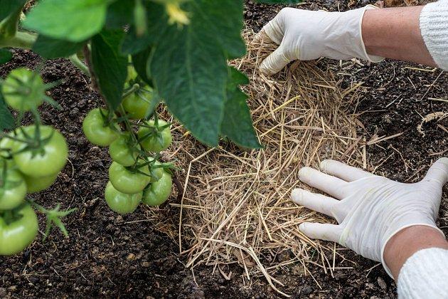 Mulčování chrání půdu, snižuje výpar a potlačuje plevel