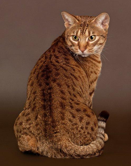 Ocicat, elegantní krátkosrsté plemeno s charakteristickým tečkováním.