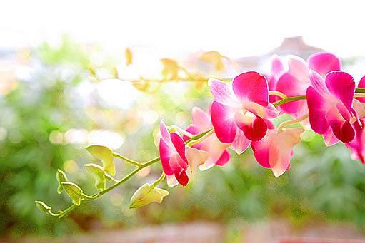 Phalaenopsis - můrovec