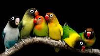 Papoušíci jsou velmi snášenliví, ideální je chovat jich více pohromadě
