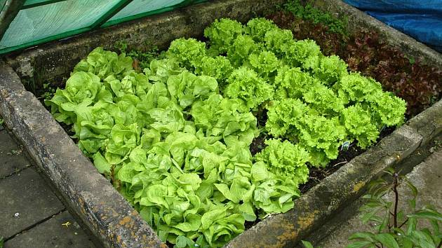 Salát můžeme v pařeništi pěstovat již v předjaří
