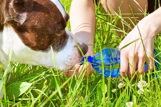 Na letní procházky berte s sebou vždy vodu i pro svého psa.