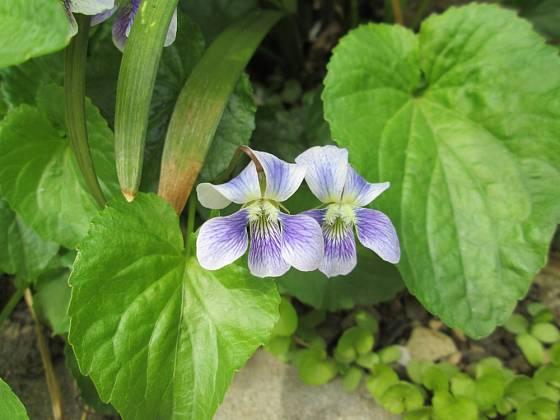 Violka bahenní (Viola palustris)
