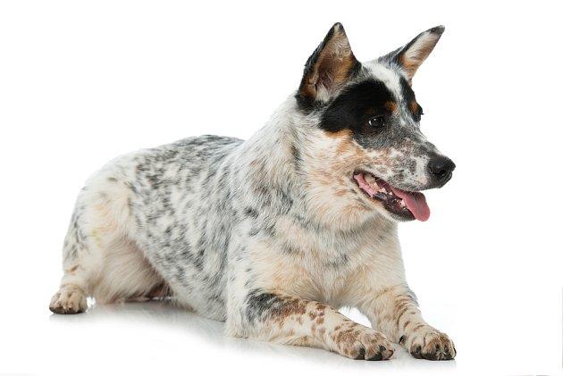 Australský honácký pes, středně velký atletický pes snezaměnitelnou skvrnitou srstí, ve své původní vlasti pomáhal při nahánění stád dobytka.