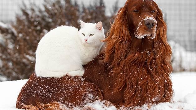 Irský setr je jedno z plemen, které si po celý život zachovává hravost a nevinnou přátelskost štěněte.