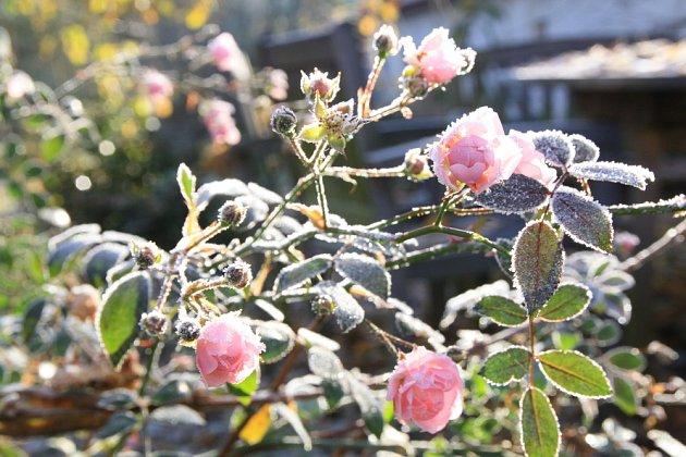 Odolné půdopokryvné růže kvetou až do zimy a jsou zcela mrazuvzdorné