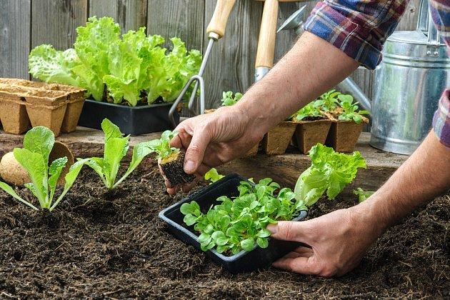 sazeničky salátu