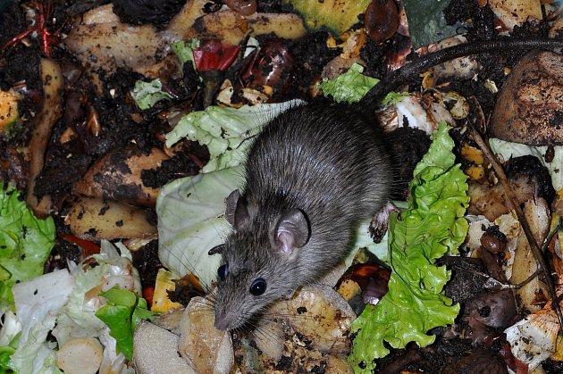 Kompost si můžete i zničit, když do něj vyhodíte nevhodný odpad. A hrozí, že se vám v něm usídlí krysy.