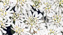 štěničník vždyzelený (Iberis sempervirens), kultivar Snowflake