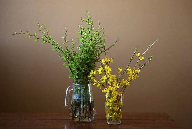 Barborku ze zlatice, forzýtie, krásně doplní svěží zeleň modřínu