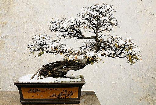 I opadavá bonsaj je krásná po celý rok