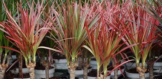 Dračinec vroubený je vyšlechtěn do více kultivarů s barevnými listy